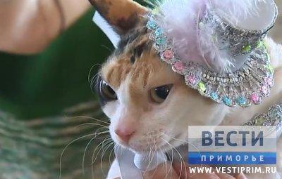 伊尔库茨克特别的猫来符拉迪沃斯托克参加展览会