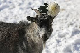 俄滨海边疆区野生动物园给山羊