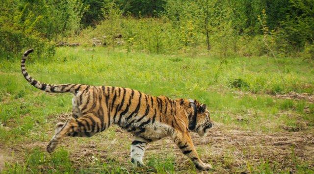 """""""豹园""""国家公园首席公共关系专家伊万·拉科夫对俄新社称,科学家提醒滨海边疆区阿尔乔姆市及周边地区的居民要小心,因为他们可能会碰到老虎"""