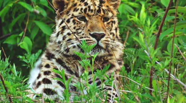 救援电影《豹之地》Leo 80M在电视频道《生命地球》播出
