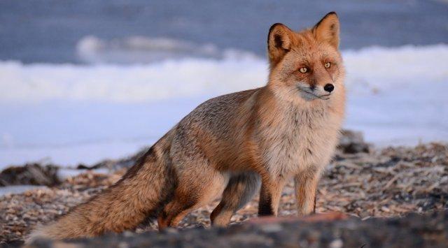 在俄罗斯岛泊德诺杰村狐狸闯入居民区寻找食物