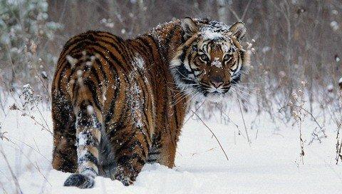 在俄罗斯滨海边疆区一个县城的马路上出现有一只老虎!