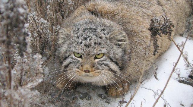 俄罗斯滨海地区野生动物-兔狲(有视频!)