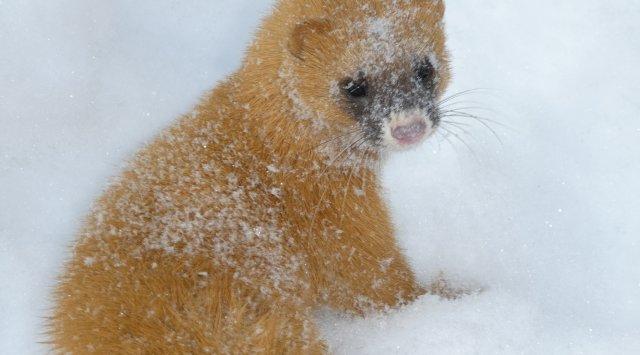 俄罗斯滨海地区野生动物-黄鼠狼(有视频!)