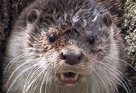 俄罗斯滨海地区野生动物-水獭(有视频!)
