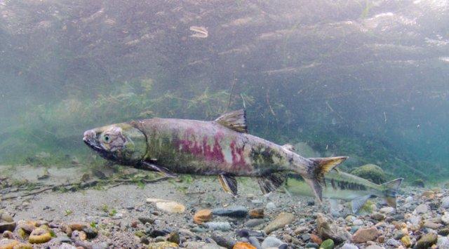 俄哈巴罗夫斯克约20吨无商标腌制大马哈鱼将被销毁