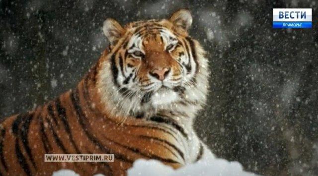 俄罗斯滨海地区野生动物-阿穆尔虎
