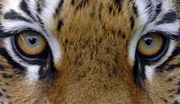 在滨海边疆区外国人谴责非法贩运阿穆尔老虎骨头
