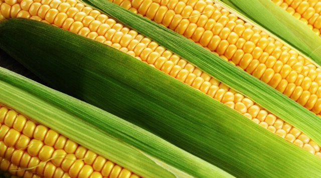 滨海边疆区收20万吨以上玉米