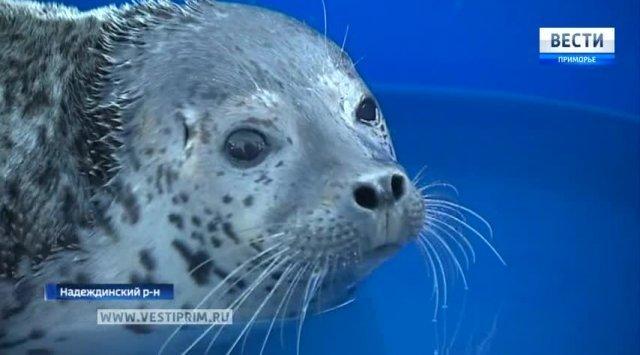 从滨海边疆区到中国将出口50个海豹