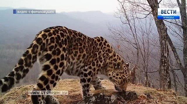 四只豹子被豹子国家公园地区的相机捕获