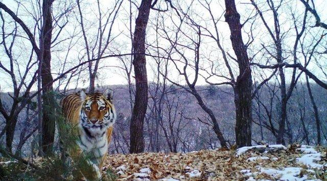 在滨海边疆区国家公园拍照母老虎和小老虎