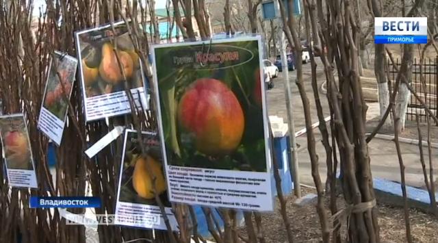 来自西伯利亚的受欢迎的水果和浆果作物的新品种被送到符拉迪沃斯托克市