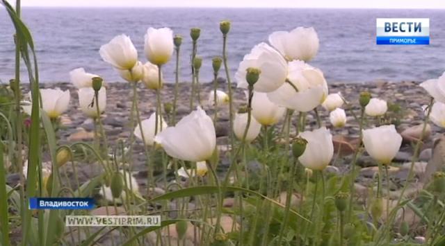 在符拉迪沃斯托克俄罗斯岛罕见的罂粟花开花